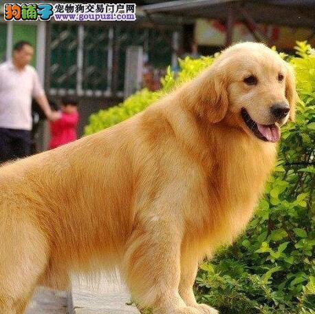 专业繁殖精品金毛犬促销西安地区购犬可优惠