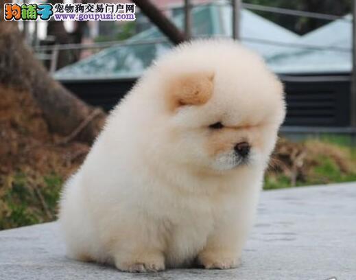 大嘴紫舌广州松狮犬出售 冠军级血系品种齐全颜色多