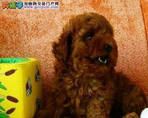 超级可爱玩具型深红色贵宾犬幼犬