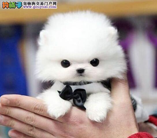 四川成都出售纯种博美犬 球体可送狗上门加微信