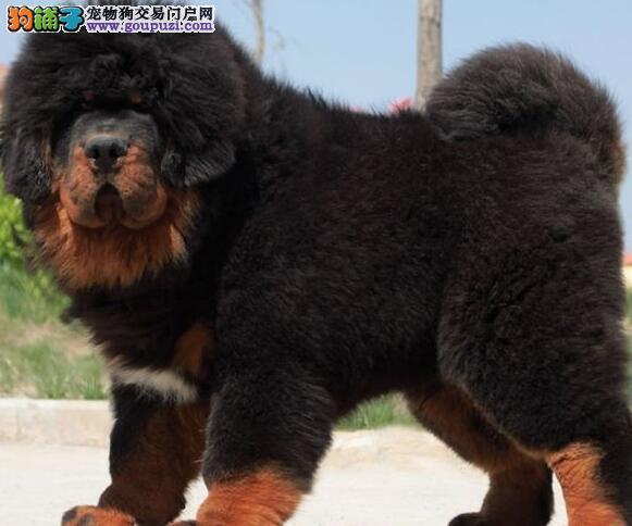 重庆专业培养狮子头藏獒 大体格凶猛护主忠诚獒犬幼犬