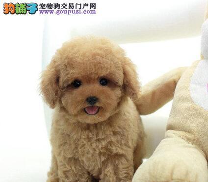 合肥最大养狗场出售纯种泰迪犬 包纯种包养活可视频看