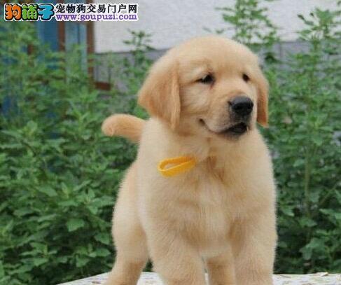 健康品质让新妈妈放心的金毛幼犬 日系赛级血统