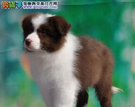 转让极其聪明易训练的台州边境牧羊犬 放心选购