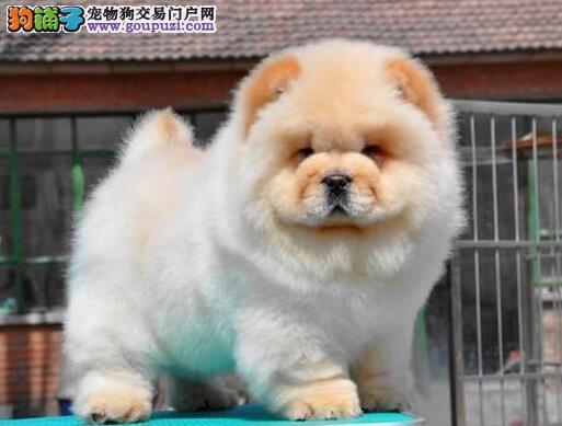 促销纯种大连松狮犬好品相质保出售签订购犬协议