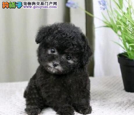 咸宁家庭式繁殖泰迪犬脸型完美性格超好可上门包养活