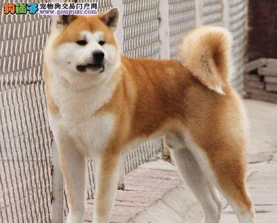 佳木斯市出售秋田犬 疫苗齐全 三个月包退换 质量三包