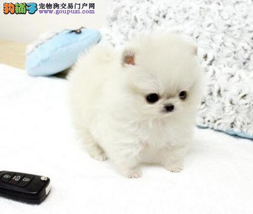 哈多利球形杭州雪白博美犬找新主人 接纳顾客一切建议