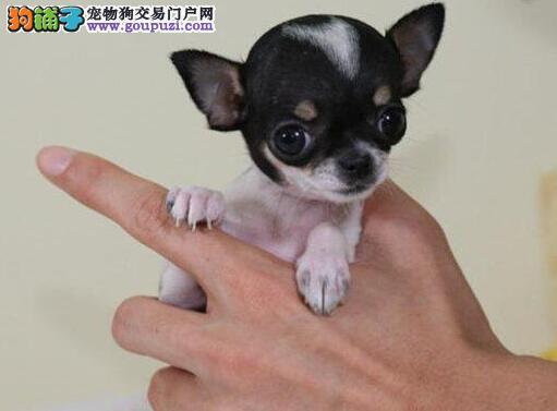 周口纯种吉娃娃犬出售苹果头杏仁眼掌中宝疫苗驱虫做好1