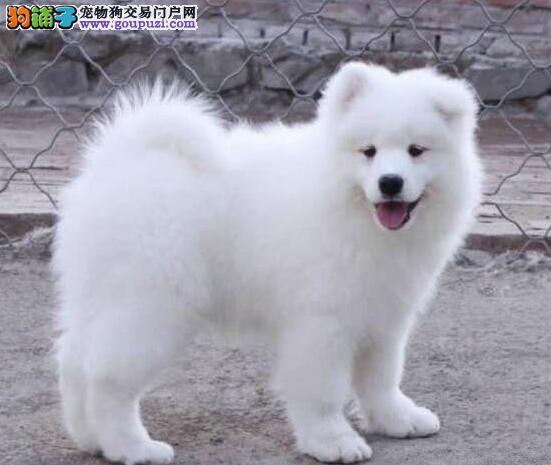 北京出售纯种微笑天使萨摩耶幼犬 公母都有可挑选