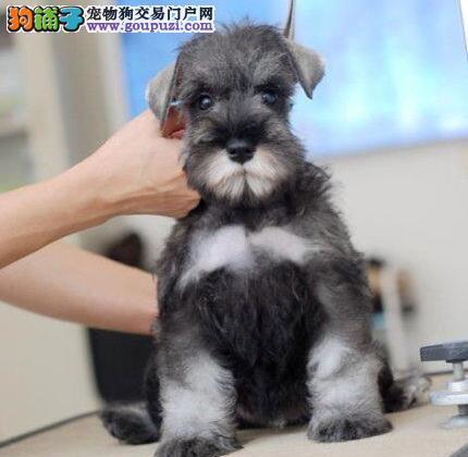 雪纳瑞犬椒盐色跟灰银色的迷你雪纳瑞幼犬聪明老头狗2