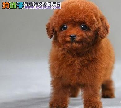 武汉专业繁育贵宾犬售高品质赛级贵宾多色可选质保健康