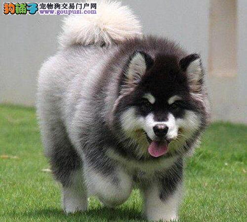 上海家养阿拉斯加雪橇犬健康出售纯种赛级大型犬阿拉