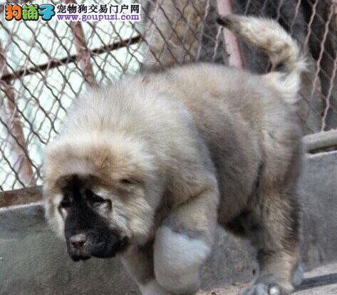 CKU认证犬舍出售纯种高加索幼犬终身质保