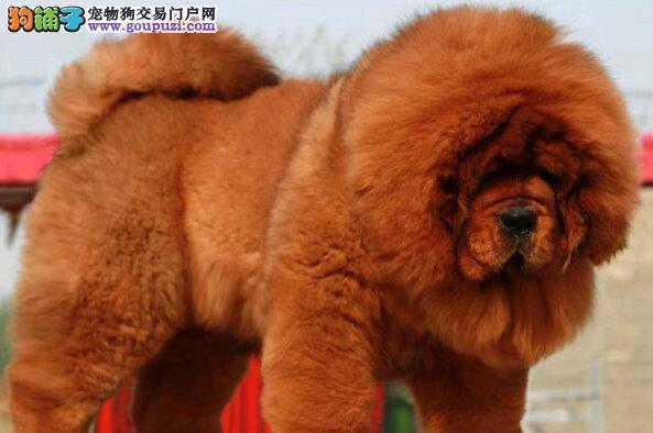 上海大狮头红獒铁包金藏獒 大骨量大毛量幼獒优惠出售