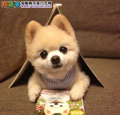 纯种博美犬幼犬出售 品相好颜值高 身体健康可见狗父母