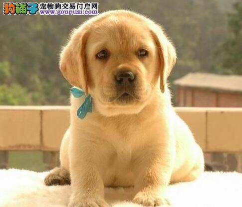 出售正宗血统优秀的三亚拉布拉多购犬可签协议