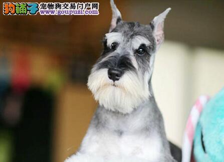 低价转让精品纯种椒盐色雪纳瑞 上海周边地区可送狗