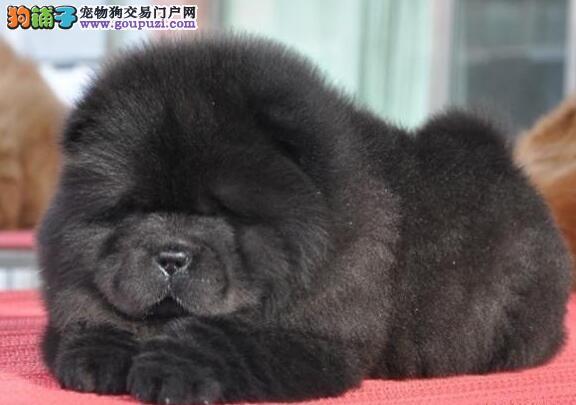 北京出售大头肉嘴紫舌头松狮犬多种颜色 可签购犬协议