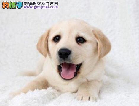 双血统拉布拉多犬出售 大骨架纯种呆萌 可见狗父母
