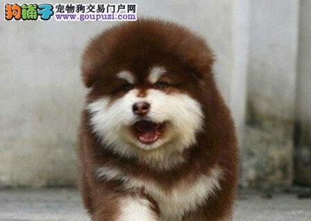 低价热销阿拉斯加犬,品质极佳品相超好,质保健康90天1