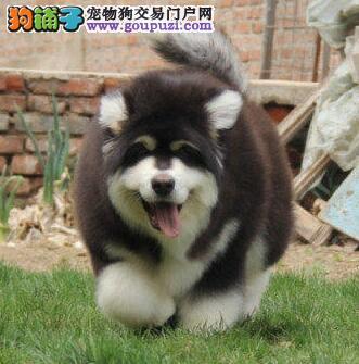 犬舍直销高品质杭州阿拉斯加雪橇犬驱虫已做包养活