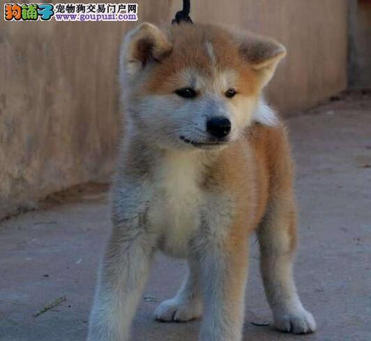 出售多种颜色天津纯种秋田犬幼犬上门可见父母