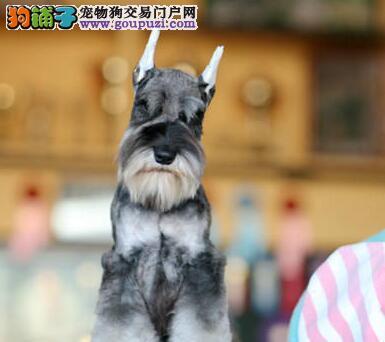 热销健康纯种椒盐色雪纳瑞 欢迎直接亲临北京狗场购买