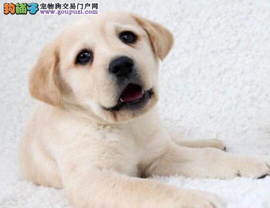 出售拉布拉多幼犬 证书齐全 血统纯正 送用品签协议