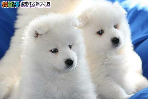 杭州繁殖舍售微笑天使萨摩耶宝宝 售后签保障协议3