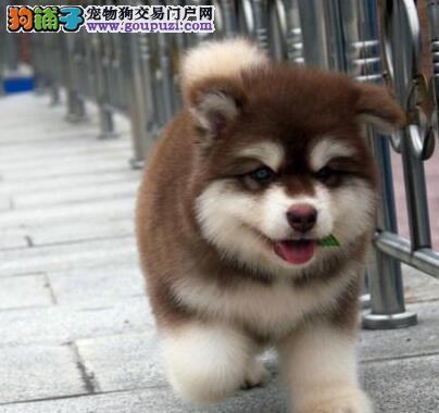 CKU认证犬舍 专业出售极品 阿拉斯加犬幼犬国外引进假一赔百