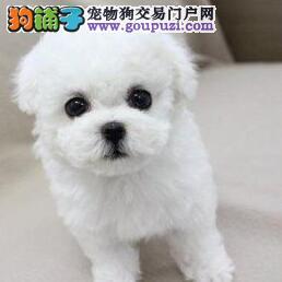 专业繁殖多只比熊犬出售汕头市区购犬可优惠