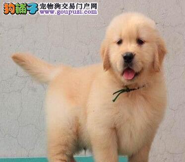 犬舍热卖高品质汕头金毛犬品质保证疫苗齐全