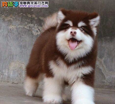 重庆售阿拉斯加雪橇犬大骨架阿拉犬公狗幼犬