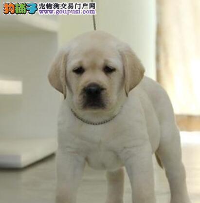 双血统拉布拉多幼犬出售 大骨架宽嘴巴 可上门挑选