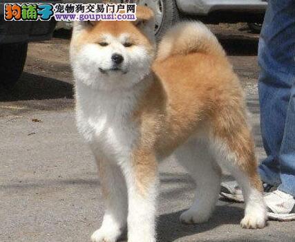 武汉超霸气的秋田犬幼犬 霸气十足