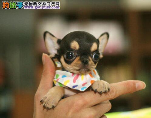 广州超小体纯种苹果头吉娃娃包健康签购买协议自家繁殖