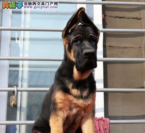 武汉繁殖精品德牧纯种德国牧羊犬签协议品质保障