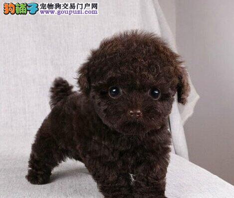 出售双血统韩系合肥泰迪犬 低价出售颜色多样有证书3