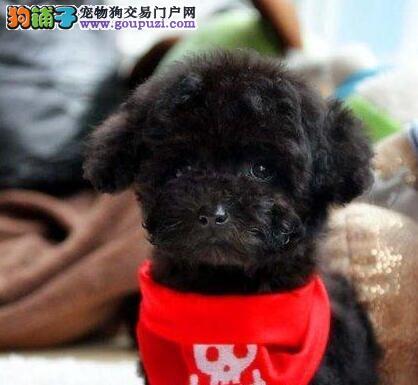 CKU认证国际贵宾犬 绝对信誉。