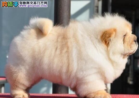 西城市出售松狮犬 看视频看狗 可上门选购 公母都有