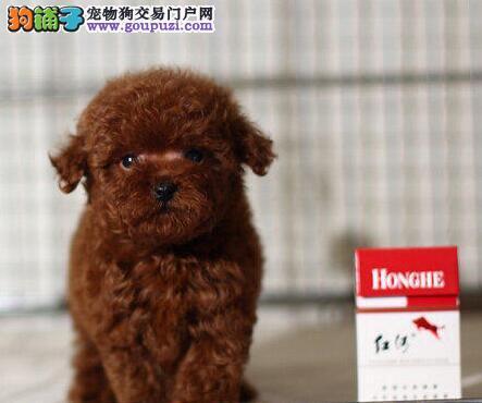 出售双血统韩系合肥泰迪犬 低价出售颜色多样有证书2