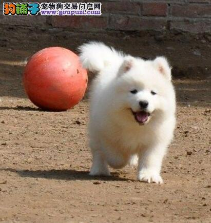 合肥养殖基地直销萨摩耶幼犬 微笑天使般雪白色没杂毛
