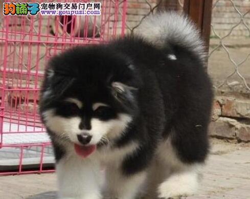 广州繁育红色巨型阿拉斯加雪橇犬活泼可爱骨架大易训