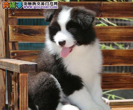 智商极高、聪明而且漂亮的边境牧羊犬宝宝,包纯种