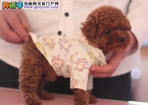 欢迎购买优秀贵宾犬 宁波地区可送狗保纯种已做防疫