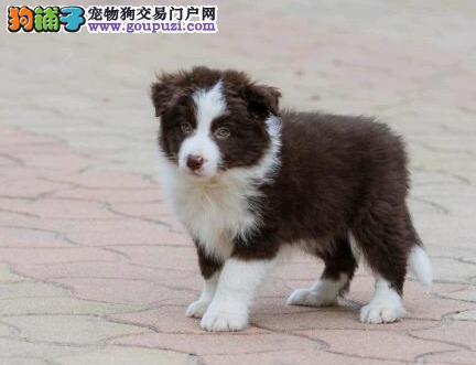 成都售纯种边境牧羊犬幼犬公母全有欢迎选购
