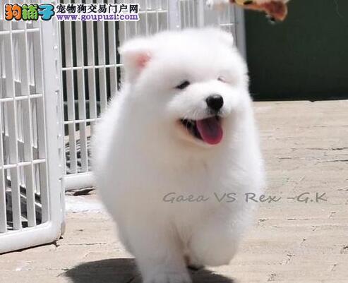 专业犬舍促销澳版德州萨摩耶犬颜色雪白证书齐全