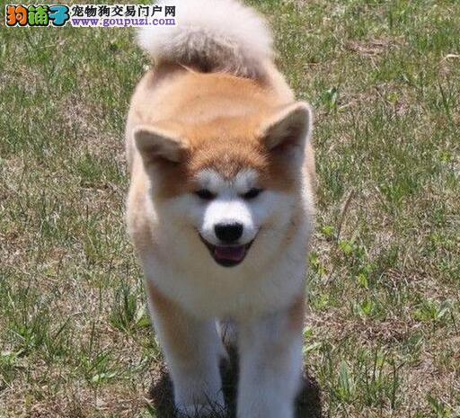 太原出售温顺稳重忠诚的伴侣犬秋田犬
