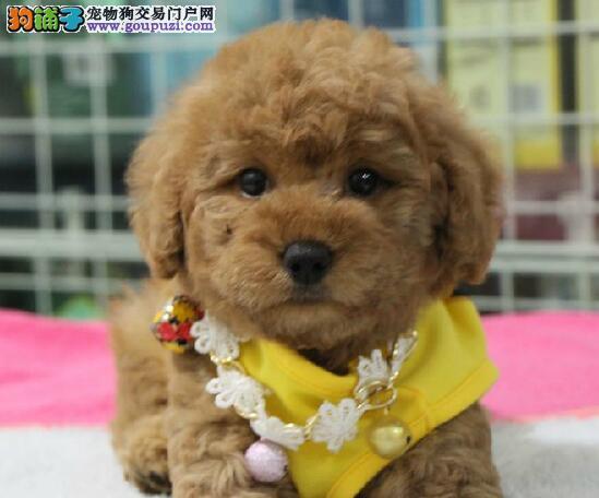 北京精品灰色白色棕色泰迪熊 体型小无体臭适合家庭养3